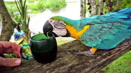 amazonka : Yellow and Blue Macaw in the Amazon rain forest in Brazil trying to drink coffee Wideo