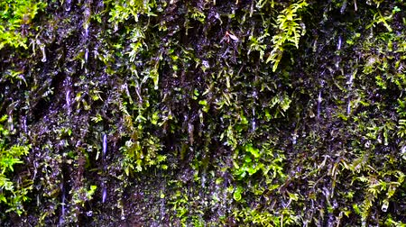 mohás : Water dripping off of moss in Oregon