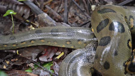 boa constrictor : Anaconda slithering away in the Amazon rain forest in Peru