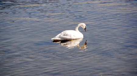 национальный парк : One Trumpeter Swan in Yellowstone National Park in Wyoming, USA
