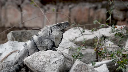 black iguana : Iguana on a rock in the Mayan ruins of Uxmal, Mexico