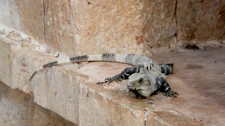 black iguana : Iguana on Mayan ruins in Uxmal, Mexico