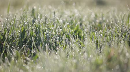 nemli : Focus Pan shot of green grass with lots of water droplets in the morning. Grass with dew drops sway in the wind. Stok Video