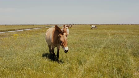 lowland : Przewalski horses are grazing in the steppe. Wild horses are eaating green grass.