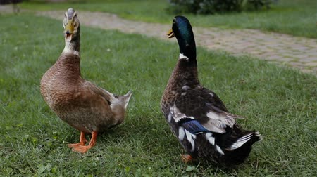 yeşilbaş : Duck and drake on a green grass next to a cobblestone pathway in the park. Ducks are speaking. Stok Video