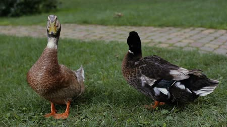 patinho : Duck looks to the camera. Drake is cleaning his feather. Duck and drake on a green grass next to a cobblestone pathway in the park.