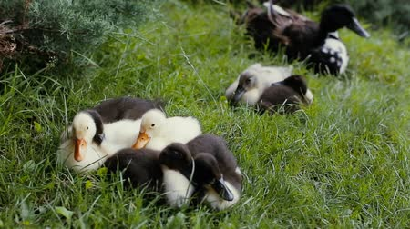 yeşilbaş : Mother mallard Duck and ducklings are laying on a green grass in a park Stok Video