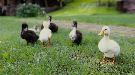 yeşilbaş : Closeup of ducklings and Mother mallard Duck on a green grass next to a cobblestone pathway in a park