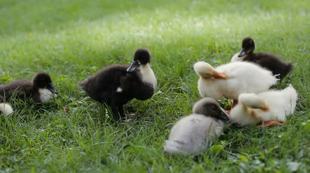 yeşilbaş : Closeup of ducklings cleaning their feather on a green grass in a park Stok Video