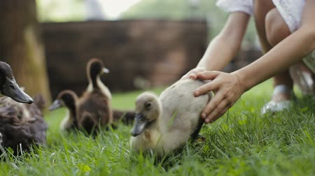 yeşilbaş : Little girl puts a duckling on a grass and lets it join its mother and other ducklings. Stok Video