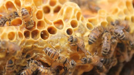 conversie : Bees convert nectar into honey. closeup of bees on honeycomb in apiary