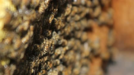 cocoon : Bees convert nectar into honey. closeup of bees on honeycomb in apiary