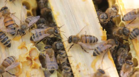 bienenwachs : Bees build honeycombs and convert nectar into honey. closeup of bees on honeycomb in apiary