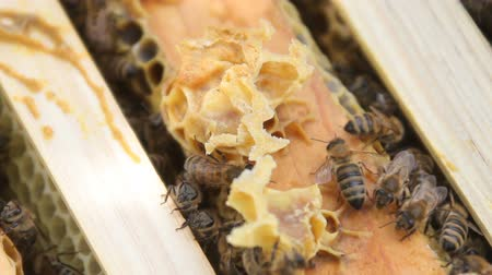 reproductive biology : Bees build honeycombs and convert nectar into honey. closeup of bees on honeycomb in apiary