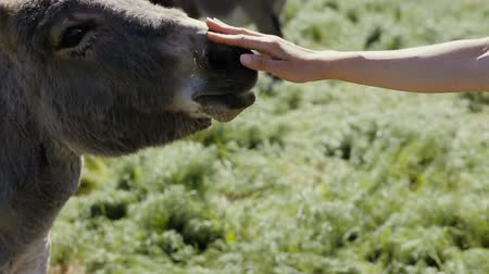 flâmula : View of human hand touching a head of a donkey