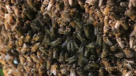 опылять : Bees convert nectar into honey. closeup of bees on honeycomb in apiary