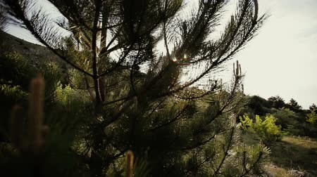 esplêndido : Pine branches trembling in the wind after the rain in sunny day. Splendid forest scene with flaring and sparkling drops of water.