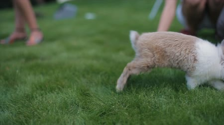 easter : Little fluffy rabbit walks on a green grass among people. Slow motion. Stock Footage
