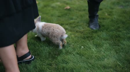 cheirando : Little fluffy rabbit walks on a green grass among people. Slow motion. Stock Footage