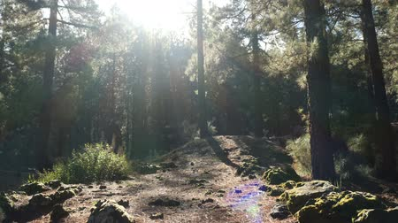 enchanted : Camera moves slowly through a pine spruce forest in beautiful morning light.
