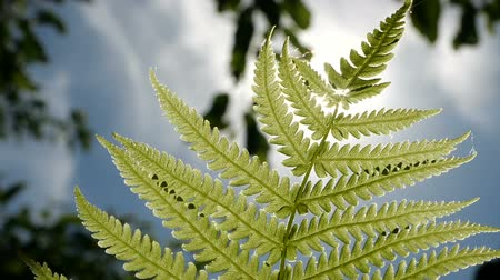 kapradina : Slow motion slose up shot of Fern leaf over blue sky and green trees background. Bottom view. Dostupné videozáznamy