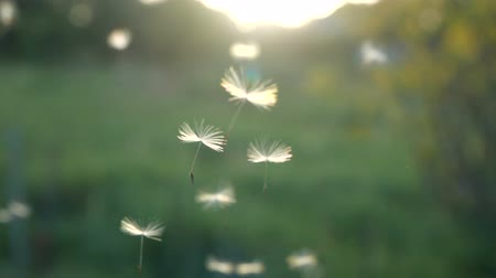 хрупкий : Slow motion. Dandelion seeds blown and dispersed by wind against green grass and blue Sky.