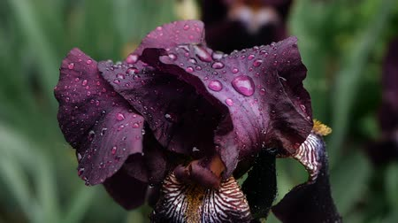yağmur yağıyor : Close-up of Water drops on deep purple burgundy iris flower after rain.