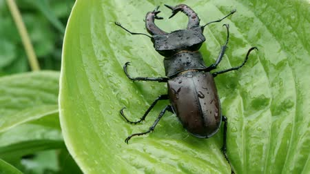 stag beetle : Big male stag beetle on a wet green leave after rain, slow motion.