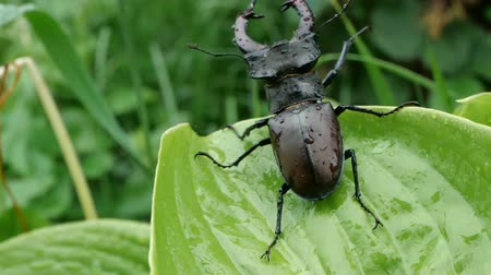 creeping : Big male stag beetle on a wet green leave after rain, slow motion.