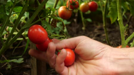 gather : Farmer is harvesting fresh ripe tomatoes leaving green ones on the plant to ripen. Mans hand picks fresh tomatoes. Stock Footage