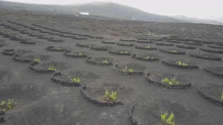 spaanse wijn : Drone shot of vineyards on black volcanic soil in Lanzarote. Aerial scenic view of Wine-growing in La Geria on the island of Lanzarote, Canary Islands, Spain, Europe.