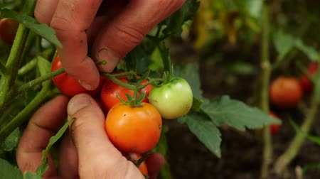 mansão : Farmer is harvesting fresh ripe tomatoes leaving green ones on the plant to ripen. Mans hand picks fresh tomatoes. Stock Footage