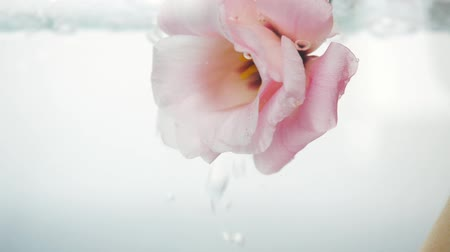 estames : Wonderful soft pink rose immersed in crystal clear water. Large bubbles of air float near the flower. Close up view of nice flower. Fresh plant in purified liquid spa procedure. Vídeos