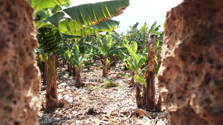 cultivo : View of Banana plantation through a hole in a fence. Bananas on Canary Islands. Green bananas growing on trees.