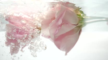 limpid : Flower in water. Pair of wonderful pink roses are in clear water. Water flows in a stream, air bubbles fall on the petals. Close up view of nice eustoma. Fresh plant in purified liquid spa procedure. Stock Footage