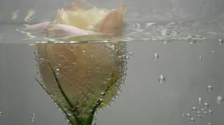 očistit : A beautiful fresh cream-colored rose is located in crystal clear water, covered with air bubbles. Water spills over. Close up view of nice flower. Fresh plant in purified liquid. Spa procedure.