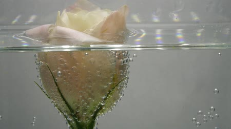 bulbo : Fresh soft creamy eustoma, covered with air bubbles, inside is cold, clear water. Cute flower in purified liquid. Close up view of nice flower. Fresh plant in purified liquid. Spa procedure.
