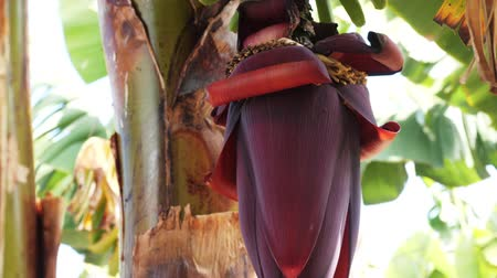 flower buds : Close-up of Blooming bananas on Banana plantation on Canary Islands. Huge red banana flower. Green bananas growing on a tree. Stock Footage