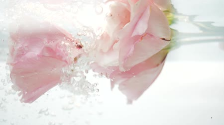 purificado : Fresh, tenderness and softness pink roses are under a stream of cool clear water, and air bubbles float from the eustomas. Flower fresh plant in purified liquid. Skin and body care. Spa procedure.