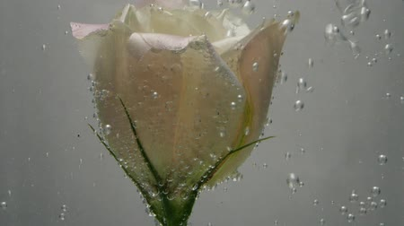 limpid : Fresh, beautiful creamy eustoma covered with air bubbles, is in crystal clear water. Water is poured in a stream. Close up view of nice flower. Fresh plant in purified liquid. Spa procedure.