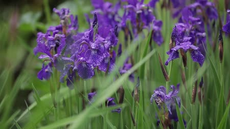 única flor : Iris flowers grow on tall grass and sway from a slight wind. Beautiful violet flowers in the afternoon in windy weather. Romantic gift for girl on a date. Attractive and fresh flora in close-up view. Vídeos