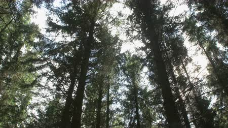 repousante : Treetops where the rays of the sun shining through the spruce forest Stock Footage