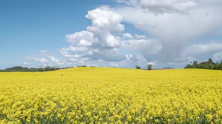 rapa : timelapse: flowering canola rapeseed field under blue sky with white clouds.