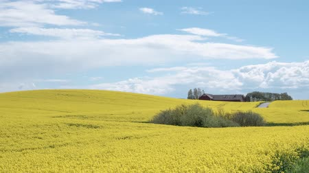 İsveççe : timelapse: flowering canola rapeseed field under blue sky with white clouds.