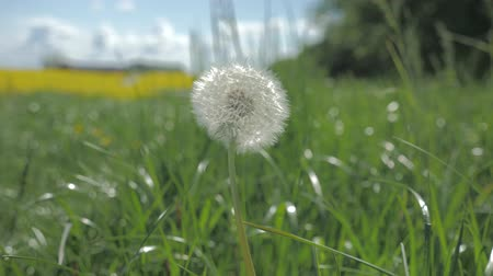 allergen : close up of bloomed dandelion swinging in the wind under blue sky with white clouds. Green grass nature background.