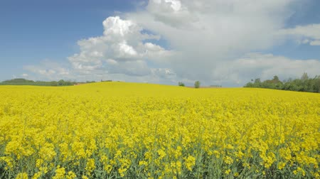rapa : flowering canola rapeseed field under blue sky with white clouds. camera movement up revealing the beautiful view.