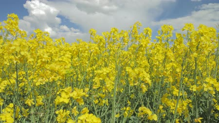 ekolojik : close up of flowering canola rapeseed swinging in the wind under blue sky with white clouds