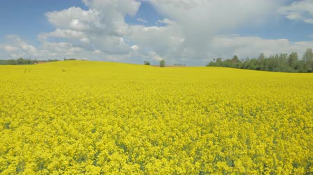 rapa : flowering canola rapeseed field under blue sky with white clouds.