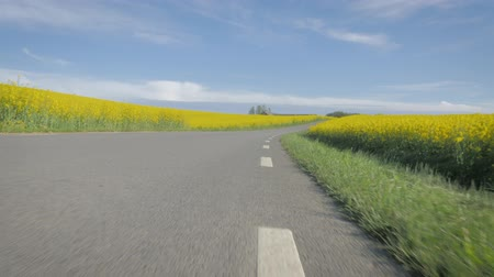 canola : POV: close view along lines on the road. Beautiful countryside with flowering canola fields