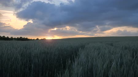szalma : Green wheat field with a beautiful golden sunset shining through a cloudy sky. Cinematic view